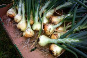 IMG_3807 Food Bank garden onions
